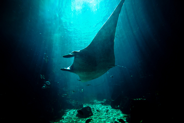 The tranquility of the manta ray